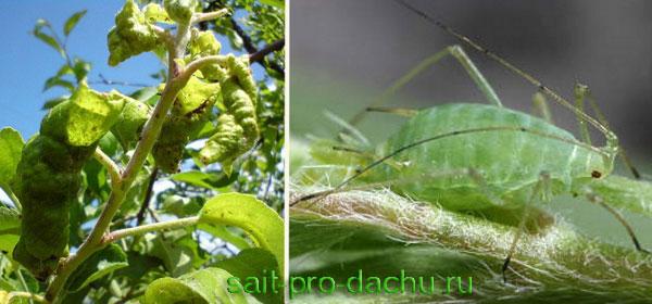 зеленная яблонная тля