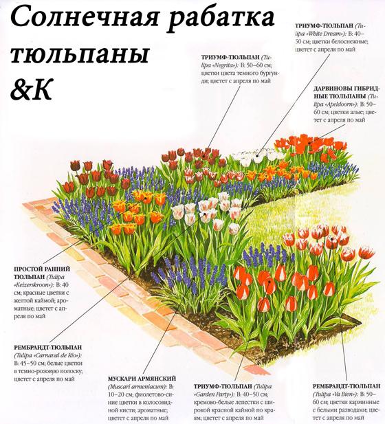 Схема оформления рабатки с тюльпанами