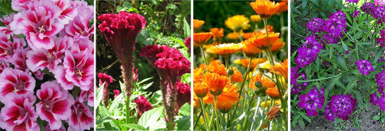 годеция крупноцветковая, целозия гребенчатая, календула лекарственная, иберис зонтичный