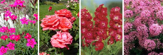 гвоздика травянка, роза, левкой седой, фуопсис длинностолбиковый