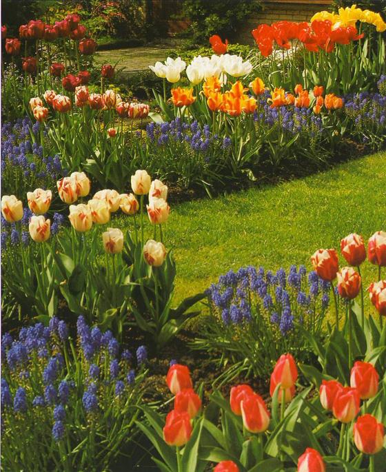 Рабатка с тюльпанами и летниками