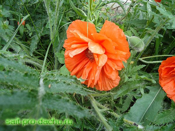 мак многолетний выращивание