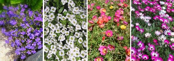 лобелия ежевидная, лобулярия приморская, портулак крупноцветковый, доротеантус маргаритковидный
