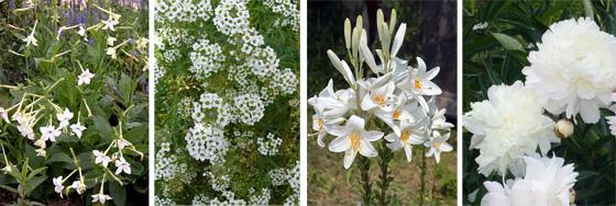 табак сандера, лобулярия приморская, лилия белоснежная, пион