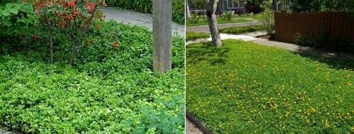 Почвопокровные растения посадка и уход