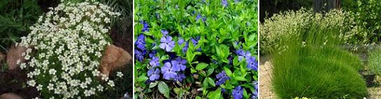 Почвопокровные растения фото