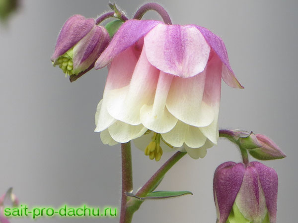 цветы аквилегия