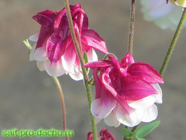 аквилегия фото цветов