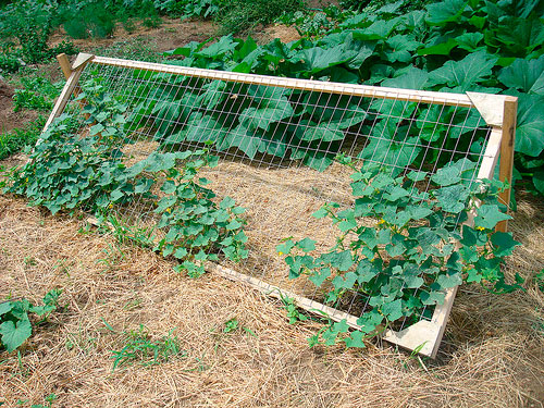 выращиваем огурцы на шпалере