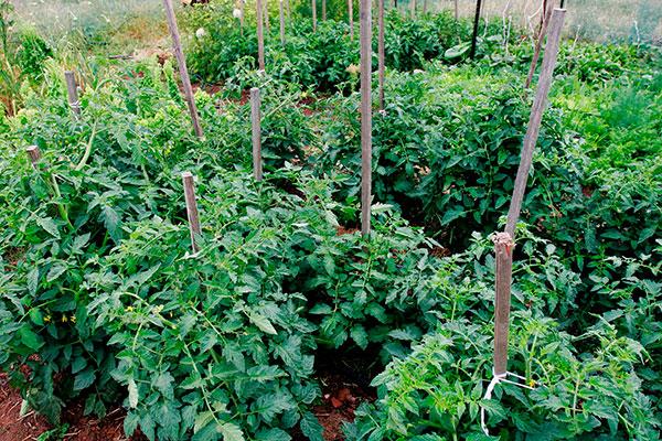 способы подвязки томатов