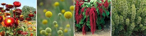 Helichrysum bracteatum, Craspedia globosa, Amaranthus caudatus, Molucella laeuis