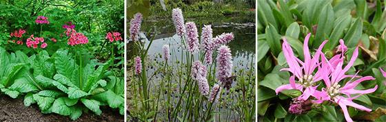 Primula japonica, Bistorta officinalis, Coronaria flos-cuculi