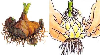 Размножение луковицами фото