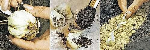 Размножение луковичными чешуями