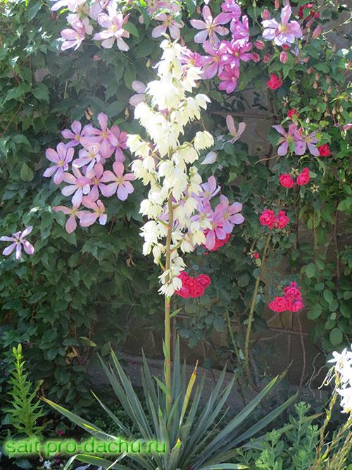 Цветы юкка  уход посадка