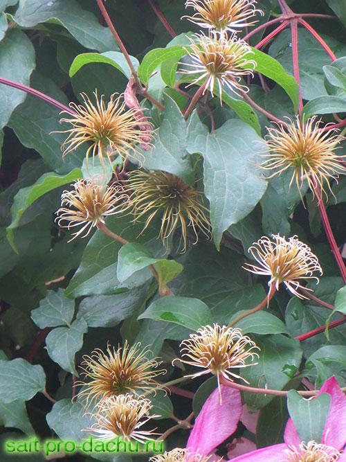 размножение клематисов осенью
