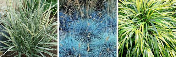 Декоративные злаки: Райграс луковичный, Овсяница сизая, Хаконехлоя большая