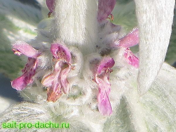стахис шерстистый выращивание