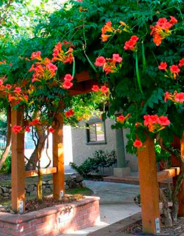цветы кампсис