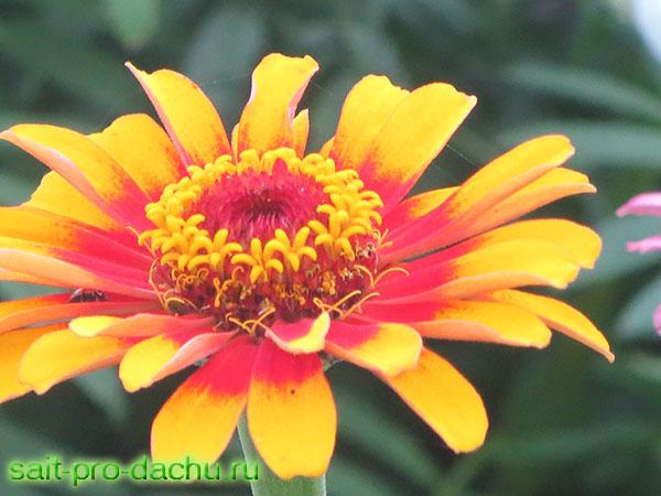 цветок циния выращивание