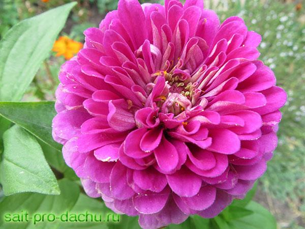 цветы цинии выращивание