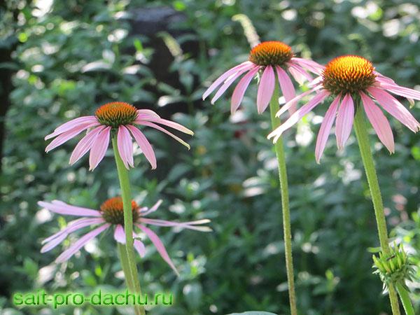 цветы эхинацея выращивание