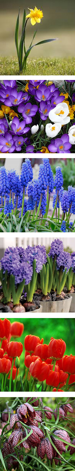 Сроки цветения луковичных в саду