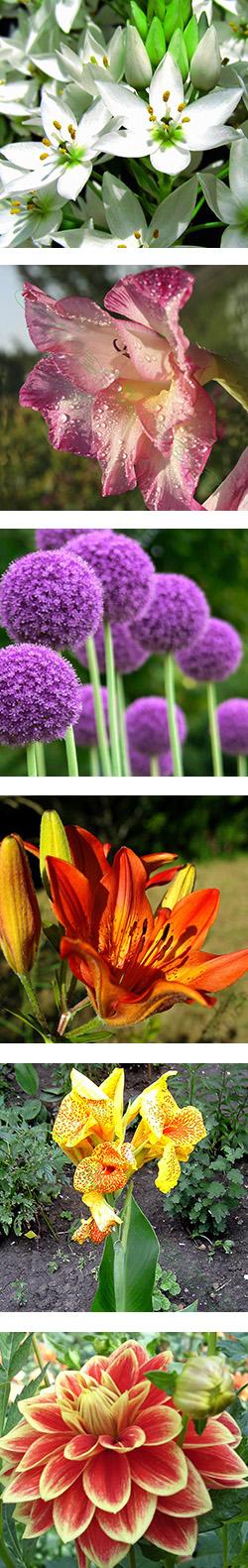 Летние сроки цветения луковичных
