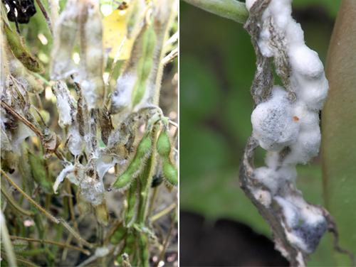 Склеротиниоз растений