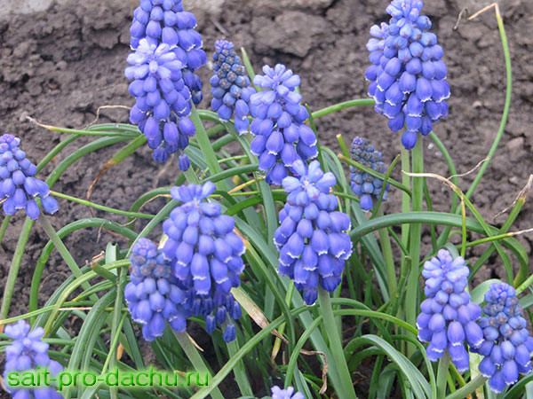 мускари цветы