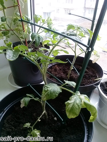 помидоры в горшке на подоконнике