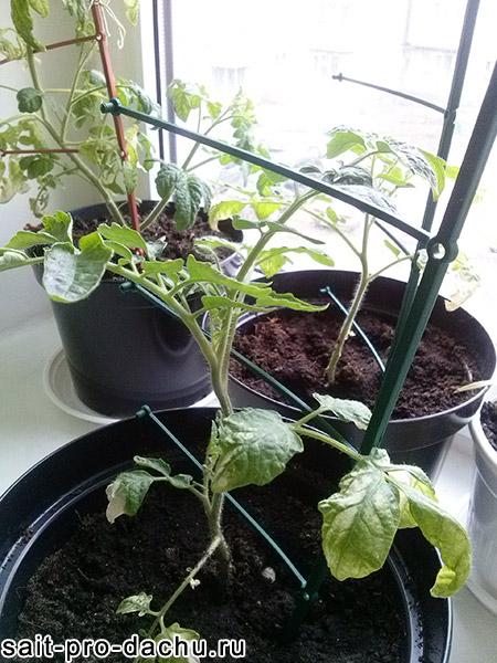 помидоры на подоконнике зимой