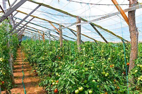 пересадить рассаду помидоров в теплицу