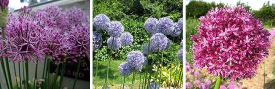 Декоративный лук Розенбаха, лук голубой, лук Траутфеттера
