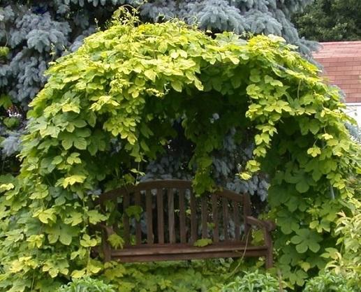 Хмель в саду фото