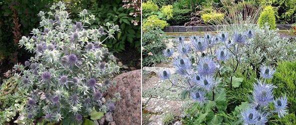 Как использовать синеголовник в саду
