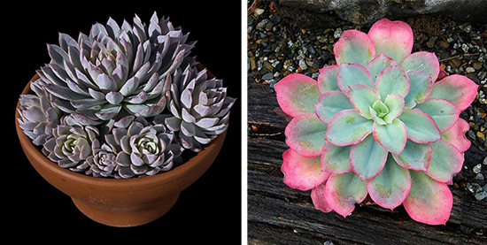 "Эхеверия Echeveria ""Violet Queen"",Echeveria ""Rainbow Sunset"""