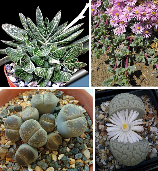 Суккуленты Gasteria bicolor var. liliputana, Lampranthus deltoides, Litops Lesli, Lithops marmorata elisae