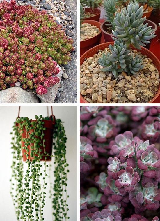 "Суккуленты Sedum lydium, Sedum sediforme, Senecio rowleyanus, Sedum spathulifolium ""Purpureum"""