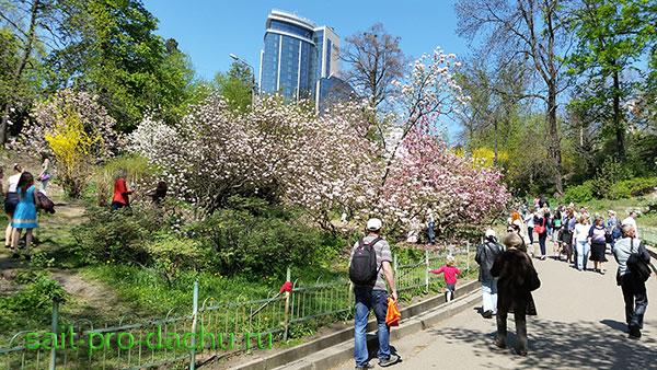 Магнолия Суланжа в Киевском ботаническом саду
