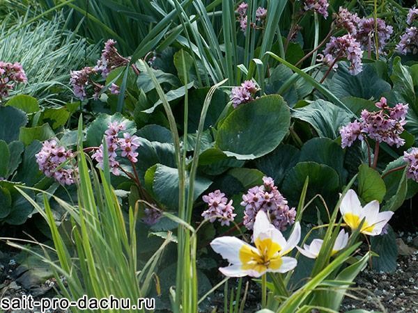 многолетние цветы бадан