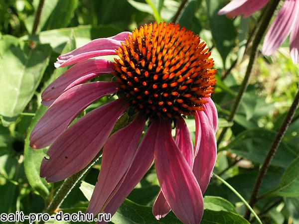 многолетние цветы эхинацея