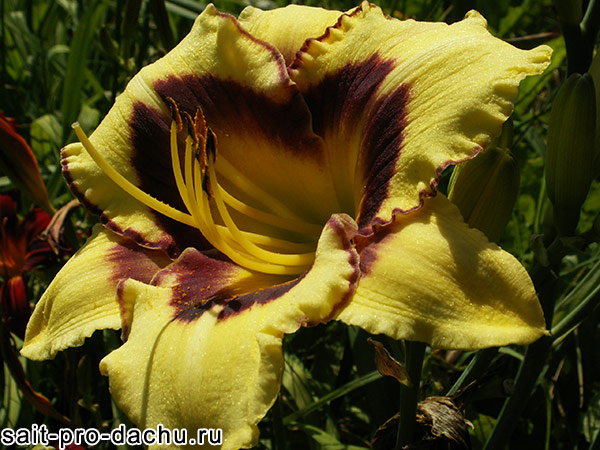 многолетние цветы лилейники