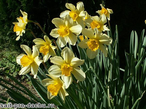 многолетние цветы нарциссы
