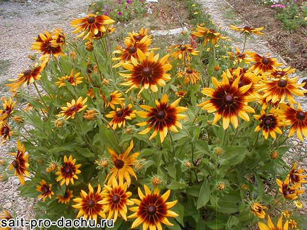 многолетние цветы рудбекия