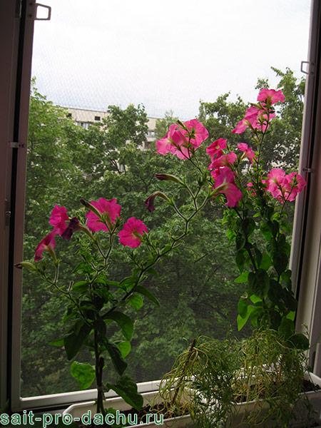 как вырастить петунь на балконе