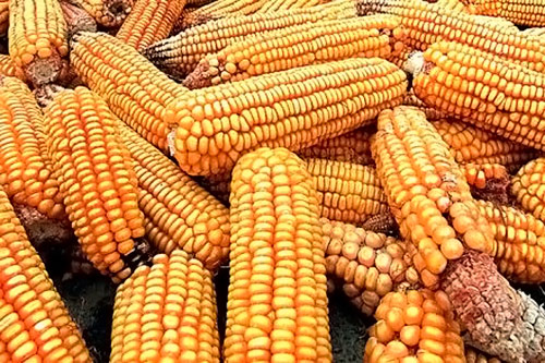 плохой урожай кукурузы