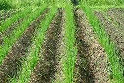 как посадить лук-севок