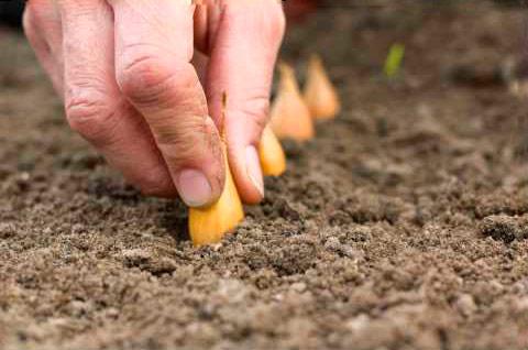 правила посадки лука-севка