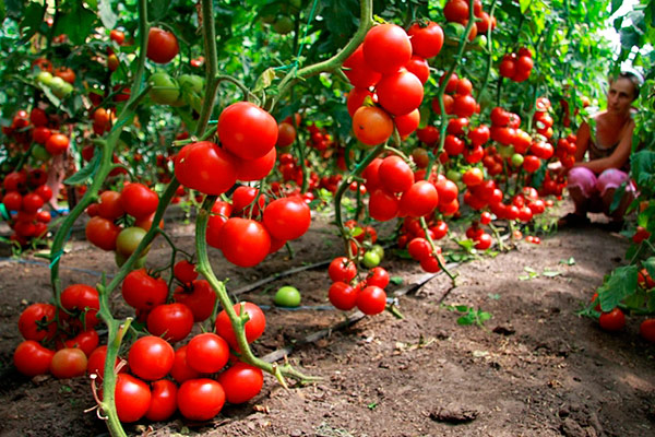 удобрение помидоров дрожжами